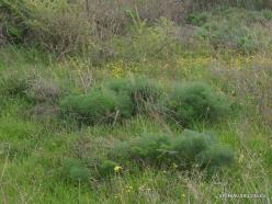 Near Netanya. Iris reserve. Giant fennel (Ferula communis) (2)