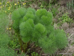 Near Netanya. Iris reserve. Giant fennel (Ferula communis)