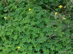 Near Netanya. Iris reserve. Nodding Wood-sorrel (Oxalis pes-caprae) (4)