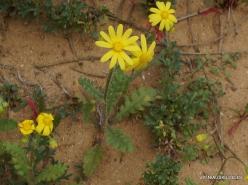 Near Netanya. Iris reserve. Spring Groundsel (Senecio vernalis) (2)