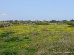 Near Netanya. Iris reserve. Spring Groundsel (Senecio vernalis) (3)
