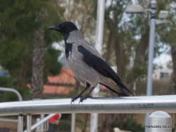 Netanya. Hooded crow (Corvus cornix pallescens)