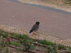 Netanya. Indian myna (Acridotheres tristis)