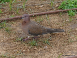 Netanya. Laughing dove (Spilopelia senegalensis)