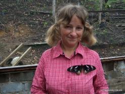 West Papua. Arfak Mountains. Meni. Butterly farm. Birdwing (Ornithoptera sp.)