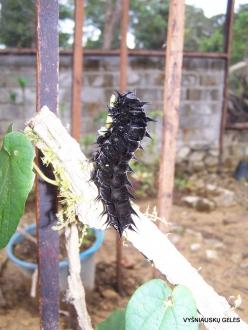 West Papua. Arfak Mountains. Meni. Butterly farm. Caterpillar of Birdwing (Ornithoptera sp.)