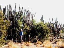 Margarita Isl. Península de Macanao. Stenocereus griseus