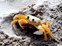 Margarita Isl. Playa El Agua. Crab (Uca leptodactyla)