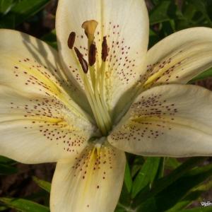 Lelijos (Lilium)- Parduodamos nuo pavasario-'Royal Victoria'
