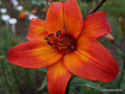 Lelijos (Lilium)- Parduodamos nuo pavasario-'Vasaros Grožis' -1