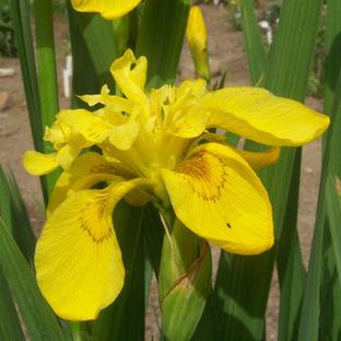 Iris pseudacorus 'Flore Pleno'