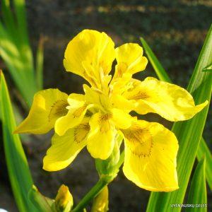 geltonasis vilkdalgis 'Flore Pleno' (2)
