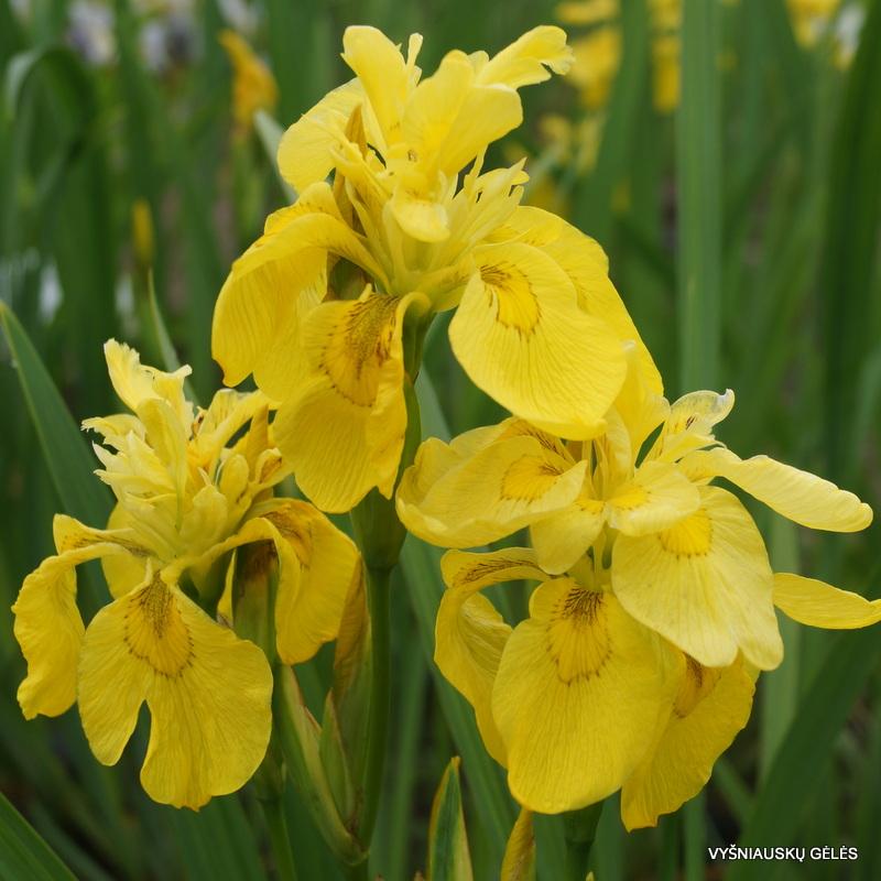geltonasis vilkdalgis 'Flore Pleno'