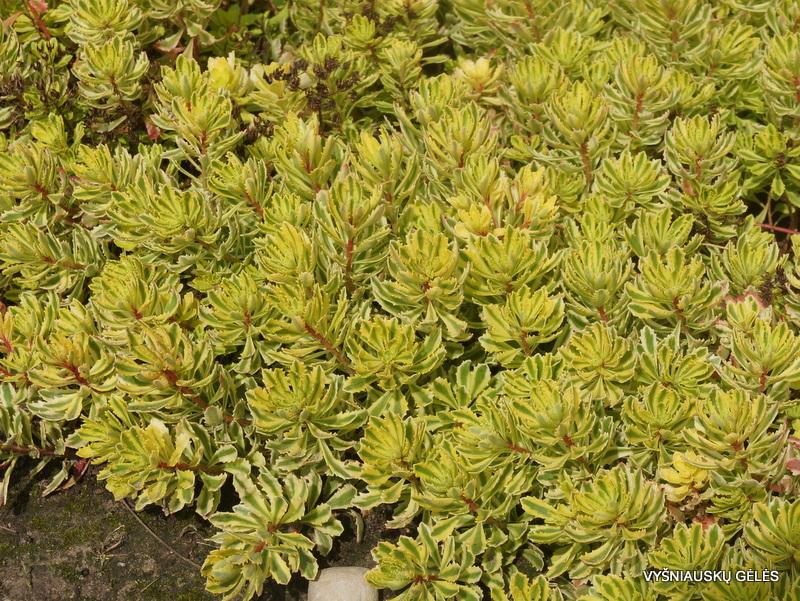 silokai-variegata