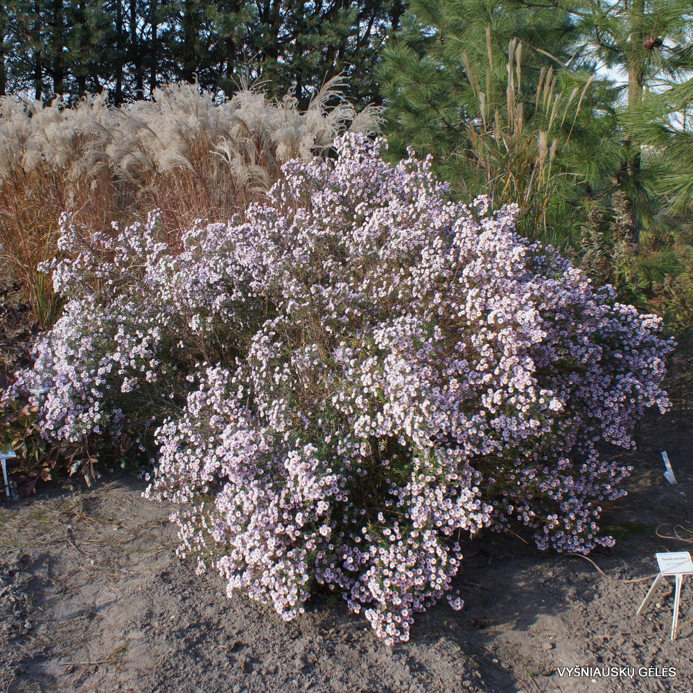 Aster 'Kylie' (2)