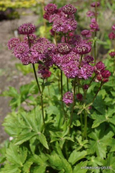 Astrantia major 'Star of Beauty' (2)