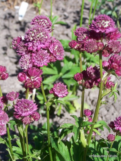Astrantia major 'Star of Beauty' (3)