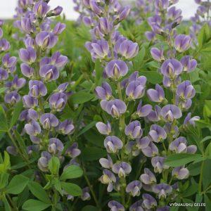 Baptisia 'Starlite Prairieblues'
