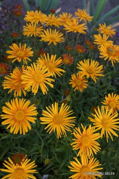 Buphthalmum salicifolium (3)