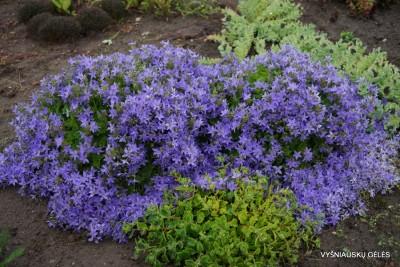 Campanula elatines var.fenestrellata (2)