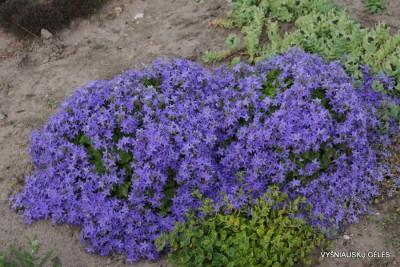 Campanula elatines var.fenestrellata (3)