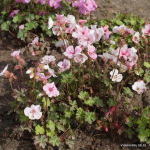 geranium-dalmaticum-album