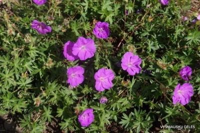 Geranium sanguineum 'Little Bead' (2)