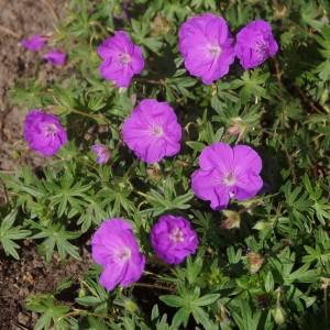 Geranium sanguineum 'Little Bead'