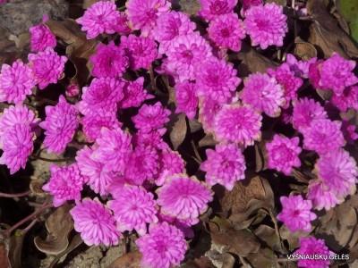 Hepatica nobilis 'Rubra Plena' (2)