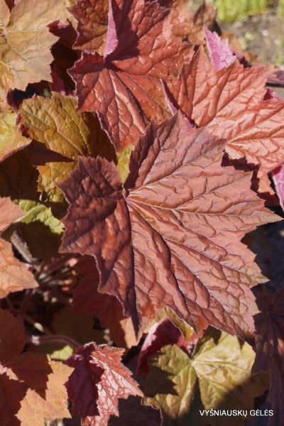 Heuchera 'Brownies' (2)
