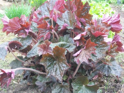 Heuchera 'Harry Hay' (2)