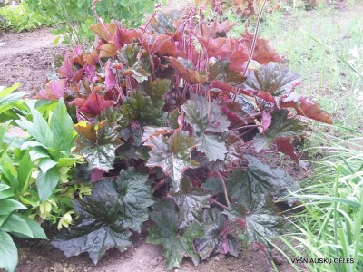 Heuchera 'Harry Hay' (4)