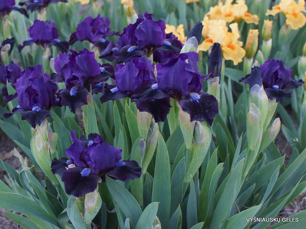 Iris 'Dark Vader'
