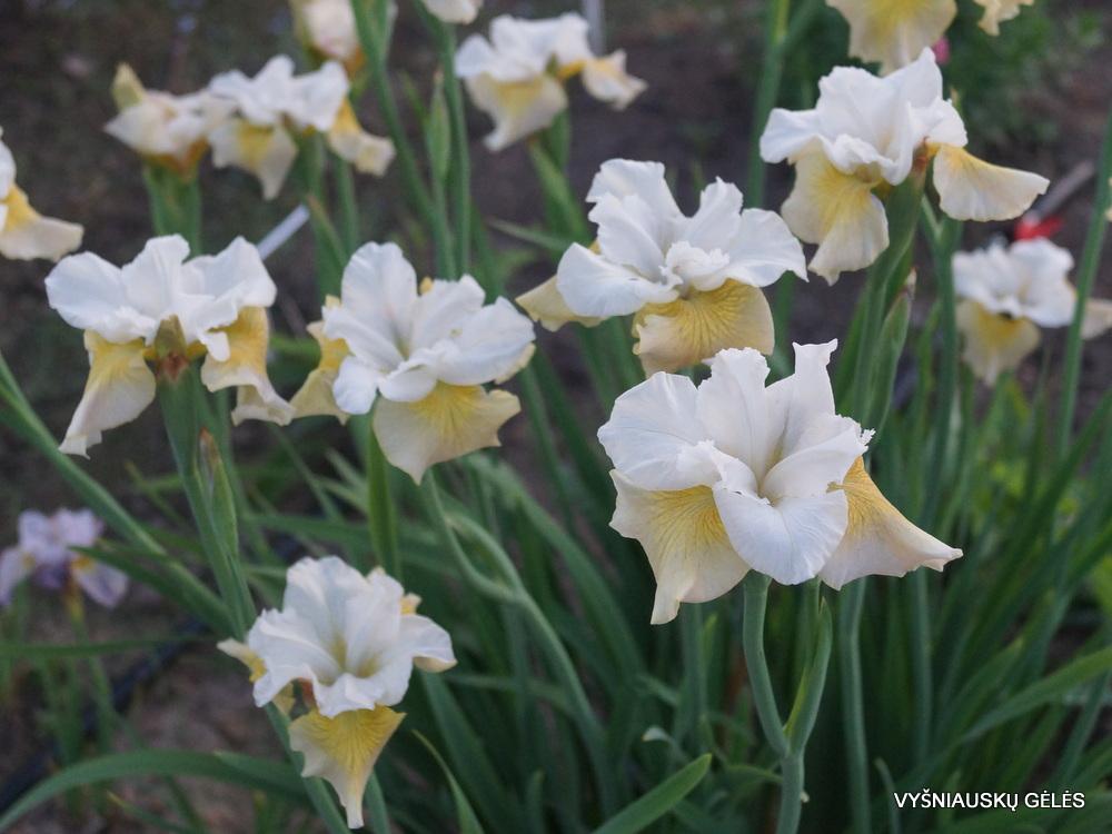 Iris-New-Mown-Hay-2