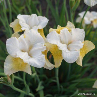 Iris-New-Mown-Hay