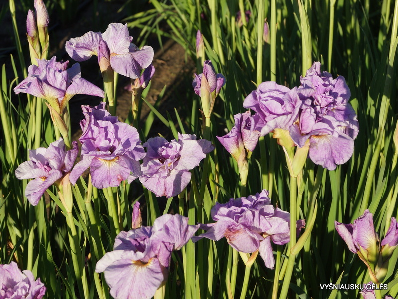 Iris-Rigamarole-3