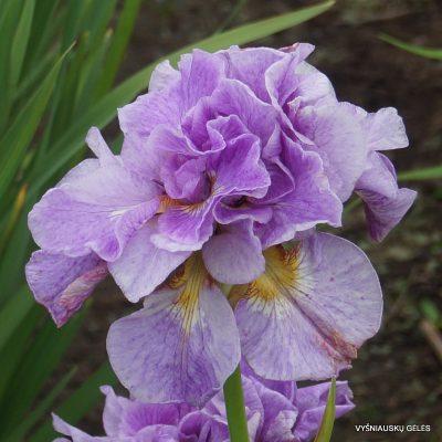 Iris-Rigamarole