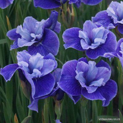 Iris-Three-Hand-Stars-1