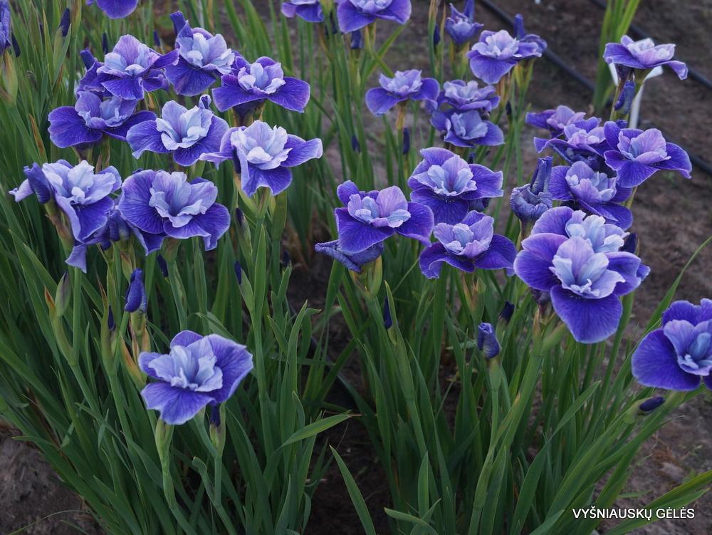 Iris-Three-Hand-Stars-3