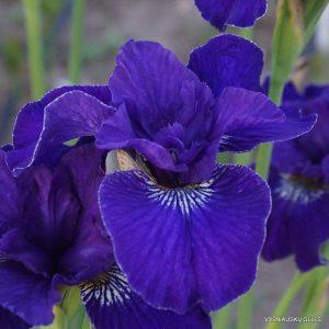 Iris-Trim-the-Velvet-1