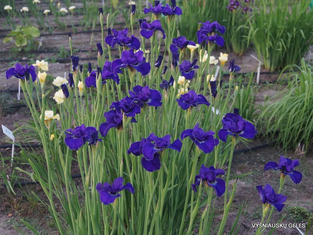 Iris-Trim-the-Velvet-2-1
