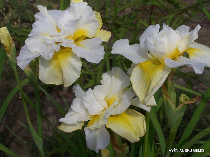 Iris-sibirica-Double-Play-2