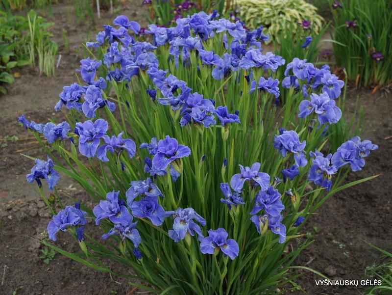 iris-sibirica-jiggles-2