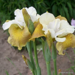 Iris-sibirica-New-Mown-Hay