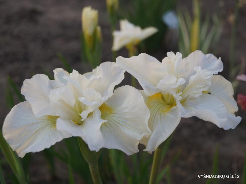 iris-sibirica-ordinary-angel-2