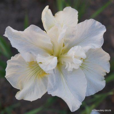 iris-sibirica-ordinary-angel