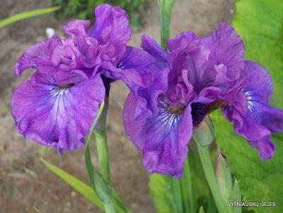 Iris-sibirica-Rosy-Bowls-2