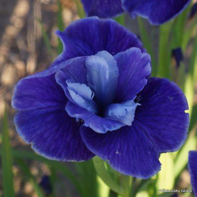 Iris-sibirica-Three-Hand-Stars