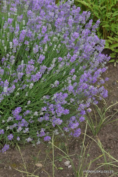 Lavandula angustifolia 'Mėlynas Sapnas' (4)