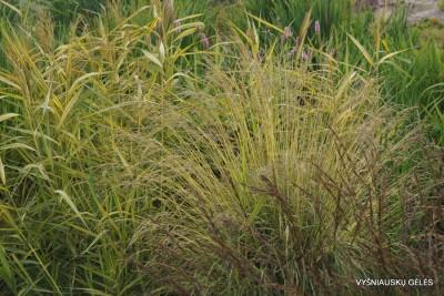 Molinia caerulea 'Variegata' (2)